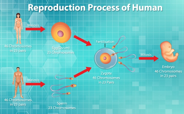 Reproductive process of human