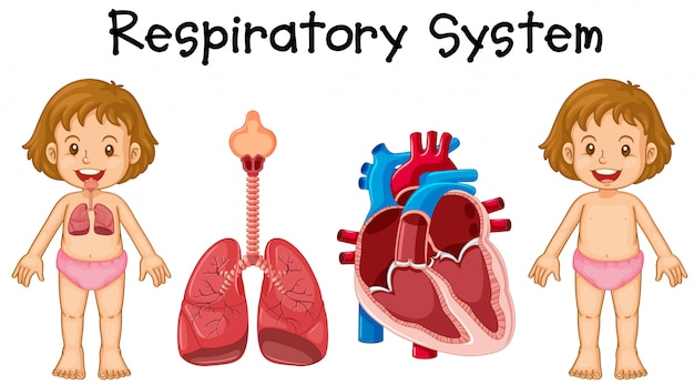 Respiratory system in little girl