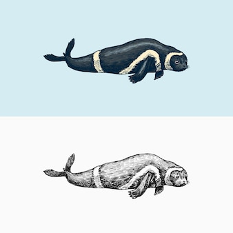 Ribbon seal marine creature nautical mammals and pinnipeds animal in doodle style vintage retro