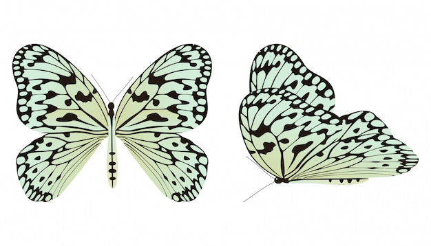The rice paper butterfly or large tree nymph vector illustration