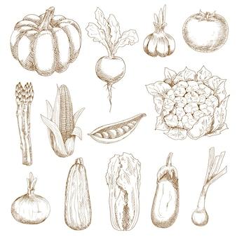 完熟した農場のトマトとトウモロコシ、タマネギとニンニク、ナスとビート、カボチャと白菜、ズッキーニとエンドウ豆の鞘、カリフラワーとアスパラガスの野菜。ヴィンテージ彫刻スタイルのスケッチ