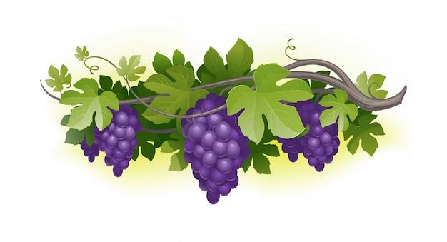Спелый виноград на лозе. иллюстрации.