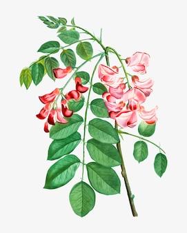 Robinier rose in bloom