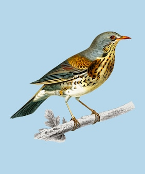 Rock thrush (turdus saxatilis) illustrated by charles dessalines d'orbigny (1806-1876).