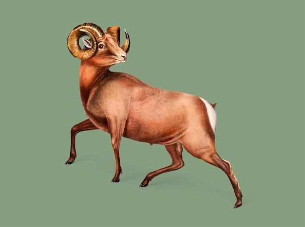 ロッキー山羊のイラスト