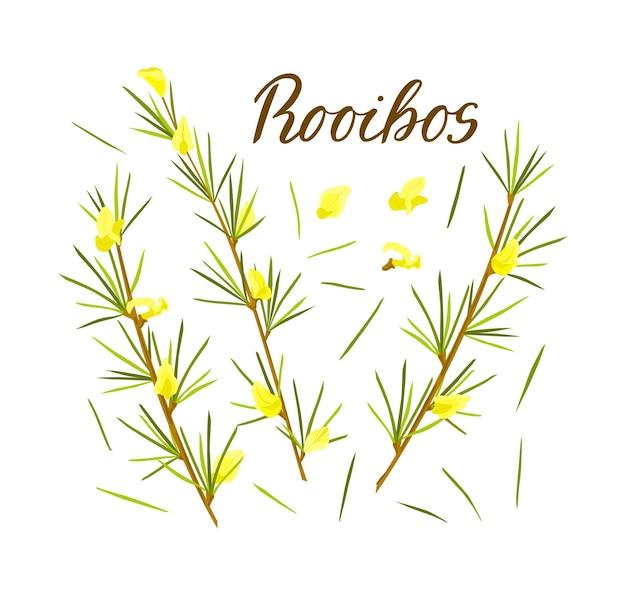 흰색 격리된 배경에 설정된 루이보스 허브 잎과 꽃이 있는 줄기 루이보스 차