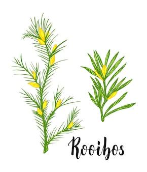 루이보스 차 식물 잎 꽃 루이보스 가지 손으로 그린 컬러 스케치 일러스트 라인 아트