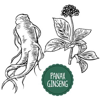 朝鮮人参の根と葉。黒と白の薬用植物のヴィンテージのイラストを彫刻します。生物学的添加物です。健康的な生活様式。伝統医学、ガーデニング