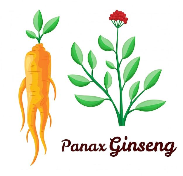 高麗人参の根と葉。健康的な生活様式。伝統医学、ガーデニング。生物学的添加物です。薬用植物のカラフルなフラットイラスト。白い背景で隔離