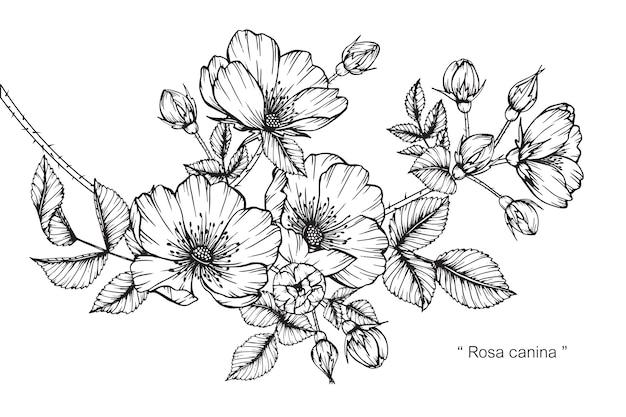 로 사 canina 꽃 그림 그리기입니다.