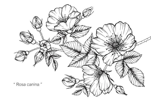 ローザ・カナイナの花の描画のイラスト。