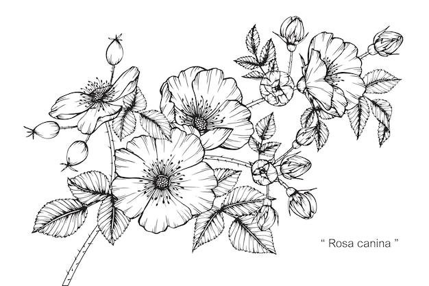 花を描くバラの花。