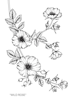 Rose flower drawing illustration.