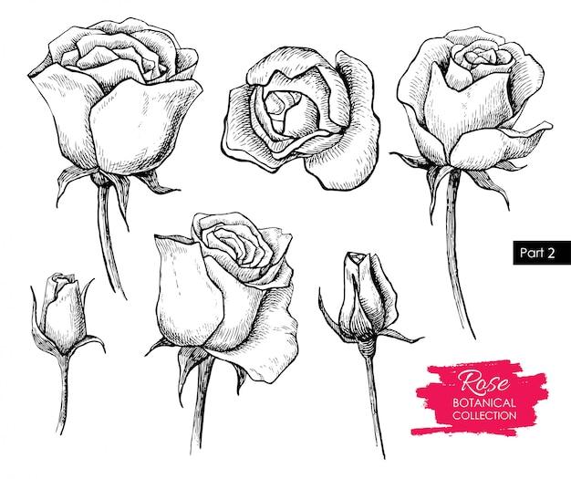 Rose flower drawing. vintage illustration