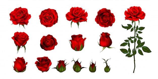 개화 식물의 장미 꽃 세트입니다. 정원은 낭만적 인 꽃 장식, 웨딩 부케 및 발렌타인 인사말 카드를위한 녹색 줄기와 잎 붉은 꽃, 꽃잎과 꽃 봉오리의 고립 된 아이콘을 상승