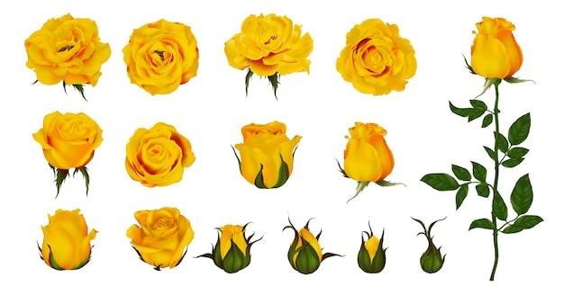 咲く植物のバラの花セット。黄色の花、花びら、緑の茎と葉の芽の庭黄色分離アイコン