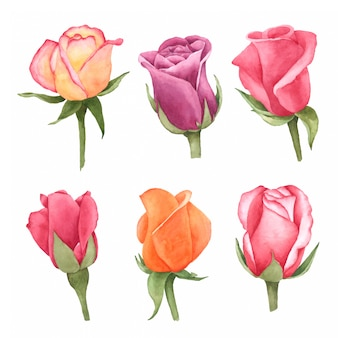 Rose hand pained in watercolor collection