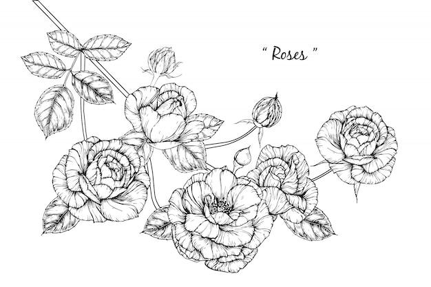 Rose leaf and flower drawings. vintage hand drawn botanical illustrations. vector.