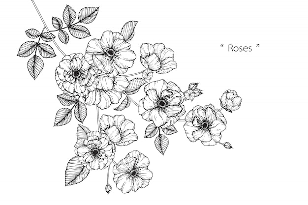 Rose leaf and flower drawings