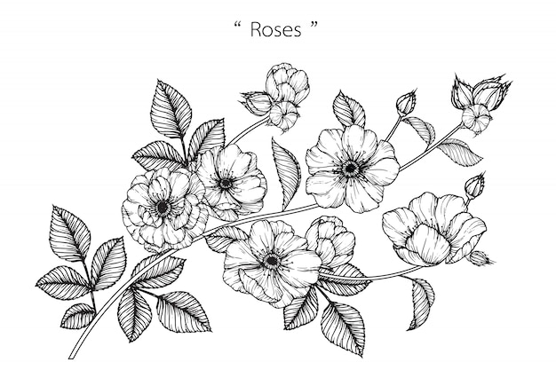 Rose leaf and flower drawings.