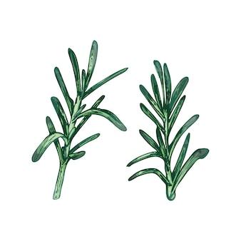 ローズマリーの新鮮な緑の枝と葉。白い背景で隔離のベクトル色ヴィンテージハッチングイラスト。