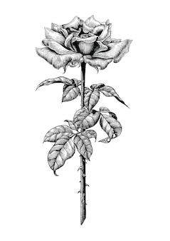 장미 손을 흰색 배경에 빈티지 조각 그림 그리기