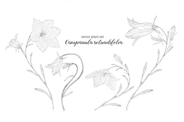 カンパニュラrotundifoliaの野菜セット。