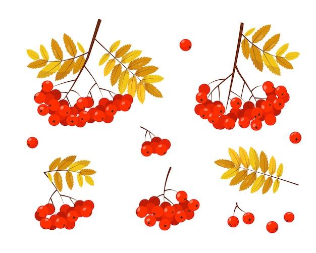 Рябина с красными ягодами и листьями на белом фоне.