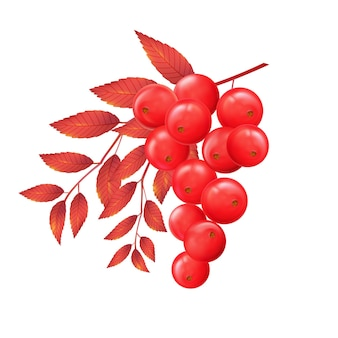 Rowan branch with autumn leaves and red ripe berries vector realistic isolated illustration