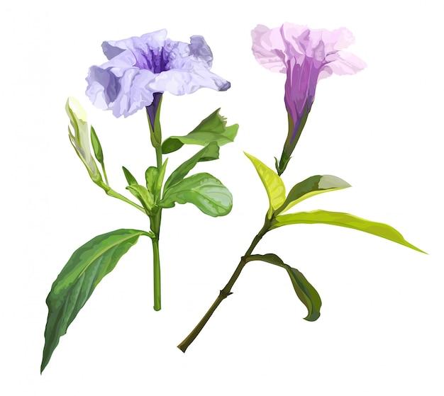 Ruellia tuberosa purple spring flower   illustration