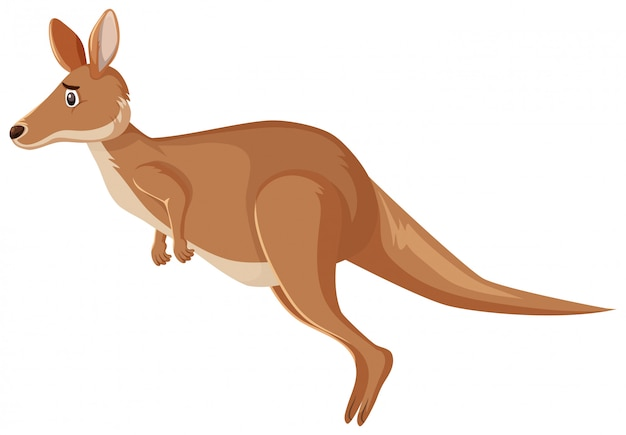 Sad looking kangaroo hopping on white