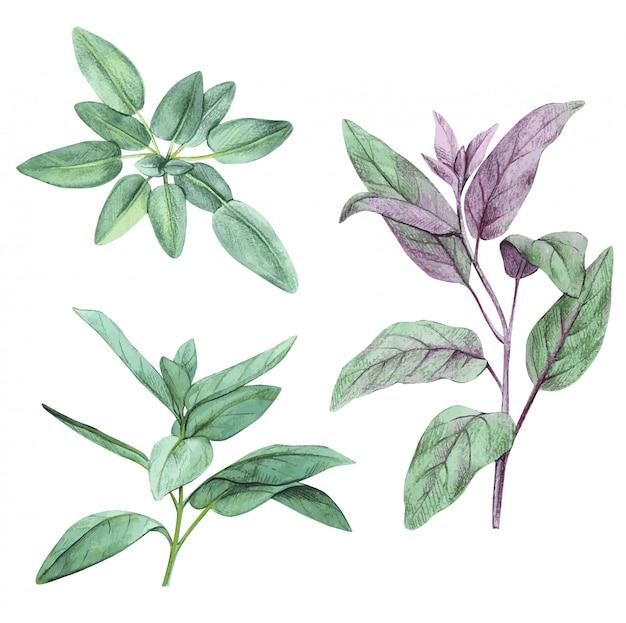 Мудрец, шалфей. набор листьев. нарисованный от руки