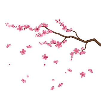 Sakura blossom flowers isolated on white