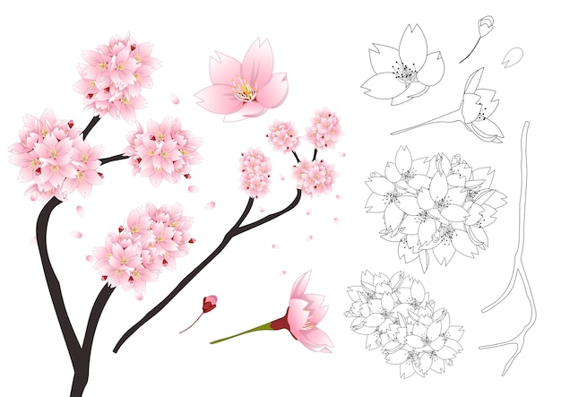 Sakura cherry blossom flower outline
