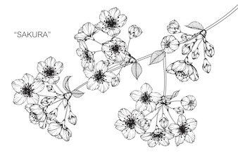 Sakura flower drawing illustration.
