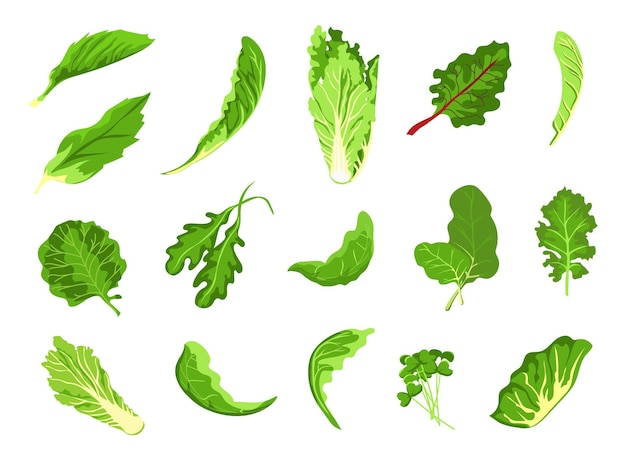 Salad leaves. green fresh farm food, lettuce, cabbage, arugula, cress and kale. healthy microgreen sprout, organic leaf vegetable vector set. illustration salad vegetable and vegetarian leaf