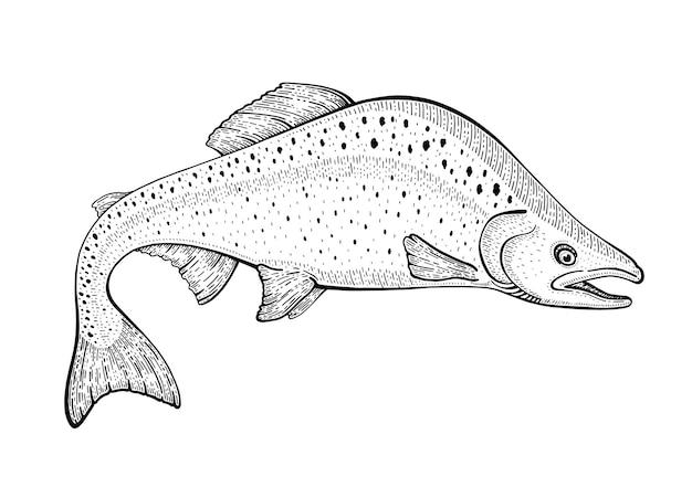 연어 물고기 스케치 그림. 송어 해산물. 손으로 그린 된 빈티지 낙서 아이콘입니다.
