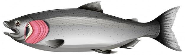 白い背景の上のえらとサーモンピンクの魚