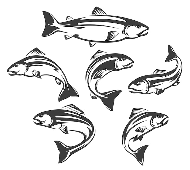 Salmon or trout fish isolated