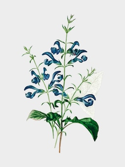 Salvia patens illustrated by charles dessalines d'orbigny (1806-1876).