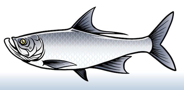 Salwater fish of tarpon fish