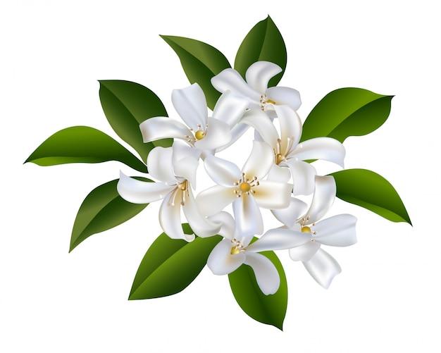 Sampaguita jasmine bouquet vector illustration