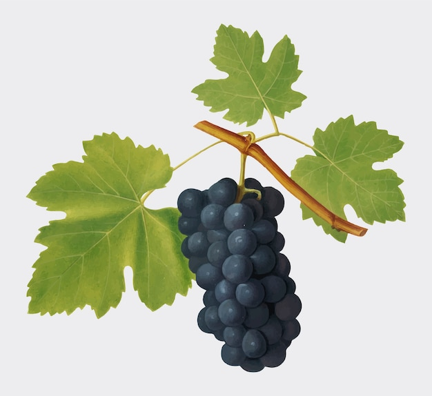 San colombano grapes from pomona italiana illustration