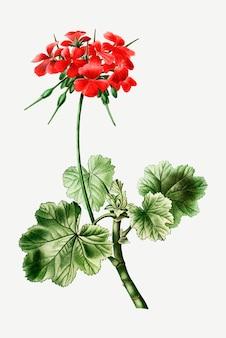 Scarlet eranium flower