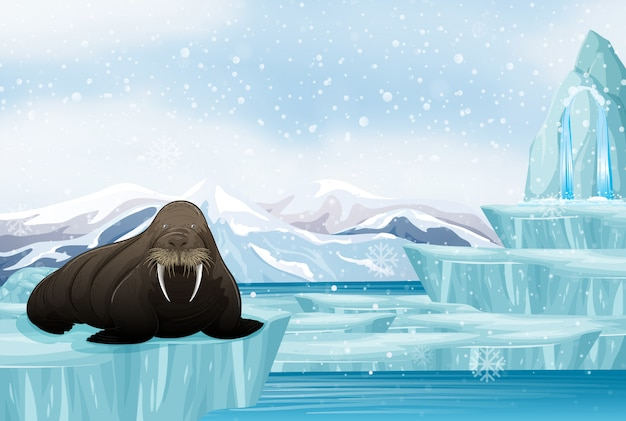 Scene with big walrus on ice