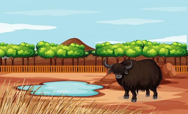 Сцена с буйволом в открытом зоопарке