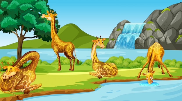 Scene with giraffes by the river