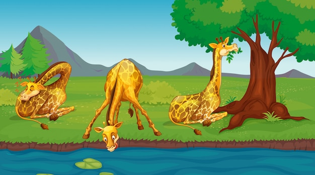Scene with giraffes drinking water from river