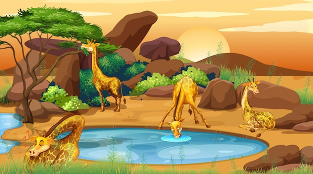 Scene with giraffes drinking water