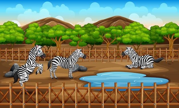 動物園で遊んでいる多くのシマウマのシーン